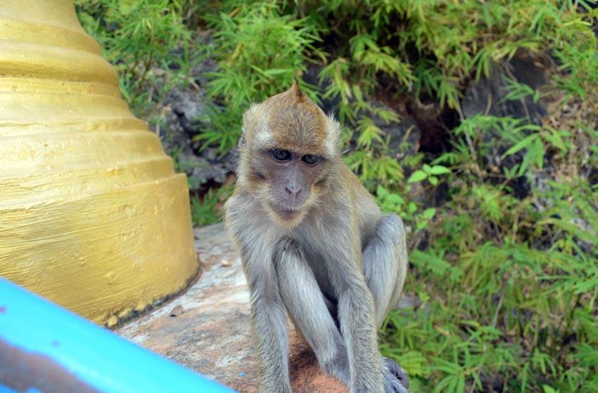Krabi Monkey