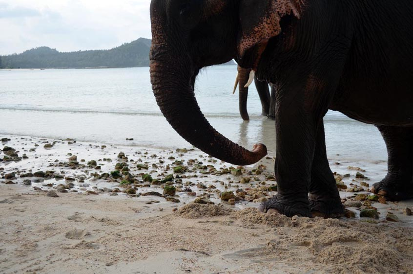 Elephants on the beach