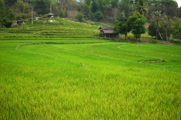 Laos Rice Paddies