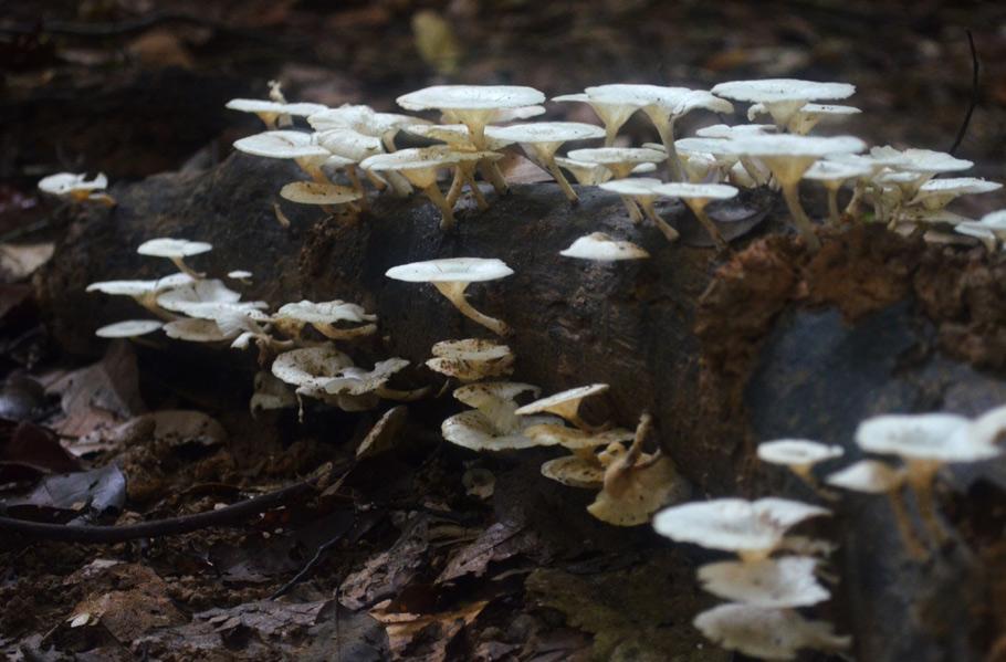 Taman Negara White Mushrooms