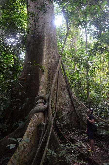 Taman Negara Giant Tree