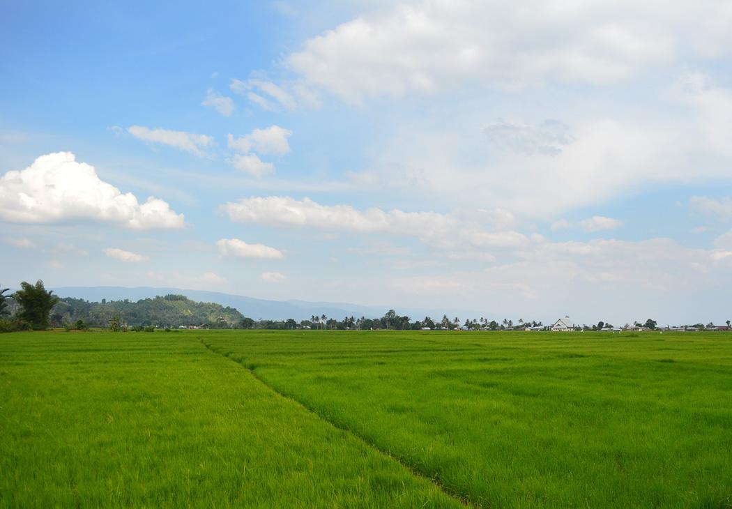 Indo Rice Paddies